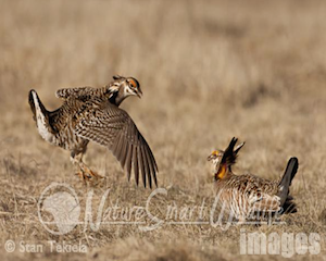 prairie-chicken