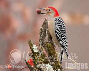 woodpeckerw